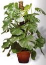 Filodendro selloum